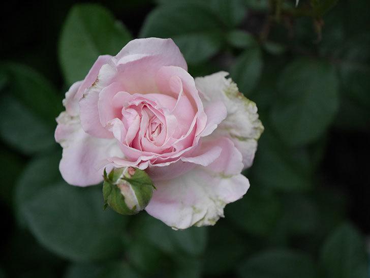 プリンセス オブ インフィニティ(ミニバラ)の花が咲いた。2020年-005.jpg
