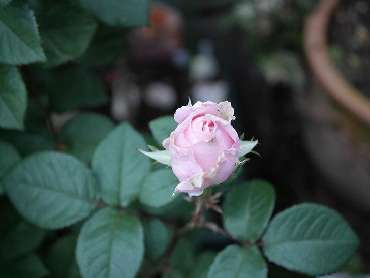 プリンセス オブ インフィニティ(ミニバラ)の花が咲いた。2020年-006.jpg