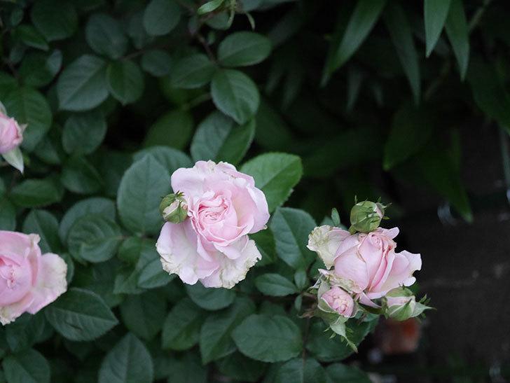 プリンセス オブ インフィニティ(ミニバラ)の花が咲いた。2020年-007.jpg