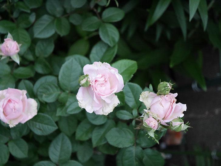 プリンセス オブ インフィニティ(ミニバラ)の花が咲いた。2020年-008.jpg