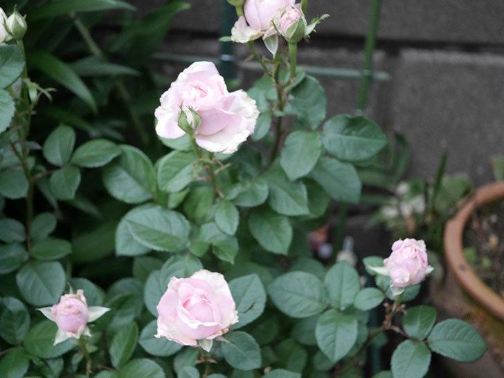 プリンセス オブ インフィニティ(ミニバラ)の花が咲いた。2020年-009.jpg