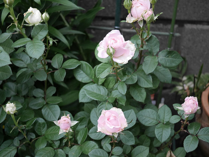 プリンセス オブ インフィニティ(ミニバラ)の花が咲いた。2020年-010.jpg