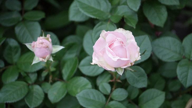 プリンセス オブ インフィニティ(ミニバラ)の花が咲いた。2020年-011.jpg