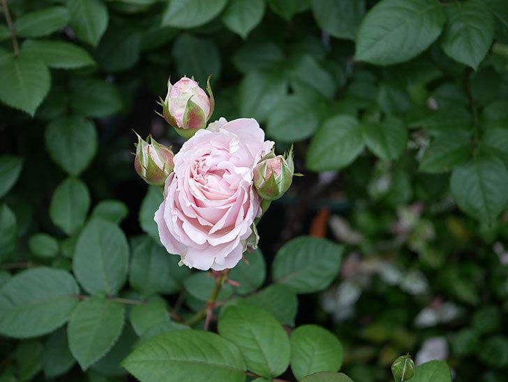 プリンセス オブ インフィニティ(ミニバラ)の花が咲いた。2020年-012.jpg