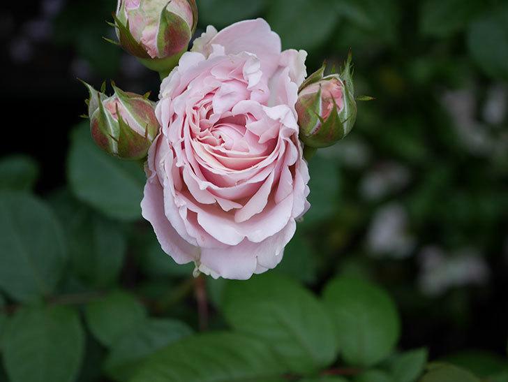 プリンセス オブ インフィニティ(ミニバラ)の花が咲いた。2020年-013.jpg