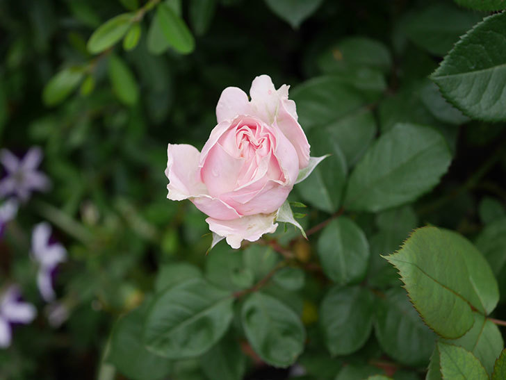 プリンセス オブ インフィニティ(ミニバラ)の花が咲いた。2020年-014.jpg