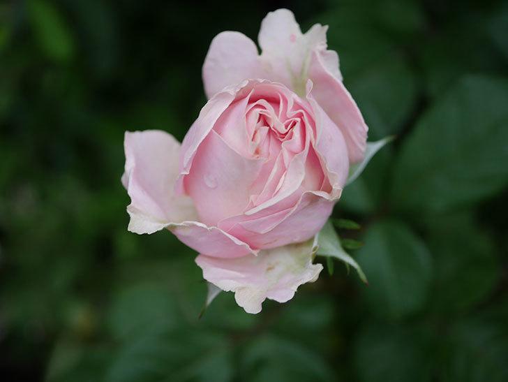 プリンセス オブ インフィニティ(ミニバラ)の花が咲いた。2020年-015.jpg
