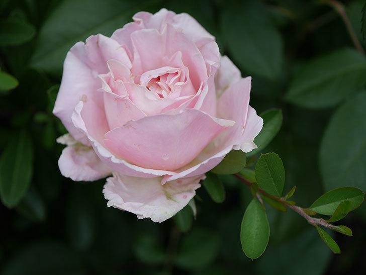 プリンセス オブ インフィニティ(ミニバラ)の花が咲いた。2020年-017.jpg