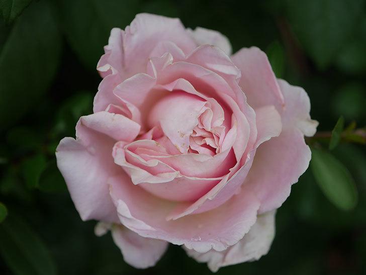 プリンセス オブ インフィニティ(ミニバラ)の花が咲いた。2020年-018.jpg