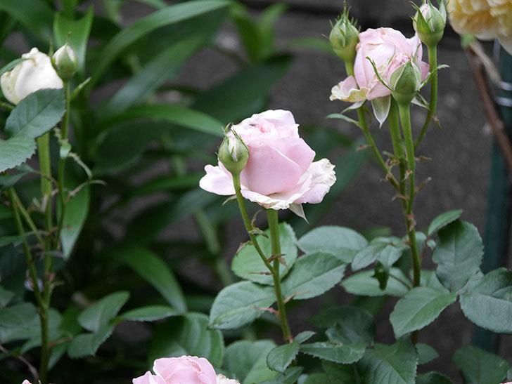 プリンセス オブ インフィニティ(ミニバラ)の花が咲いた。2020年-019.jpg
