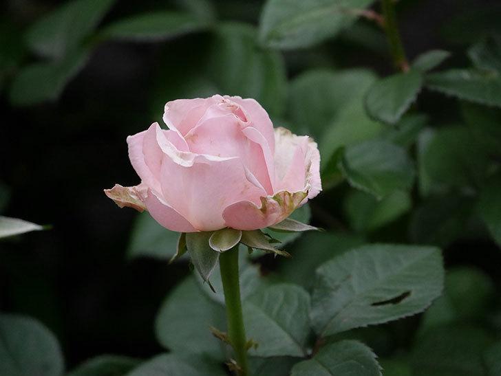 プリンセス オブ インフィニティ(ミニバラ)の花が咲いた。2020年-020.jpg