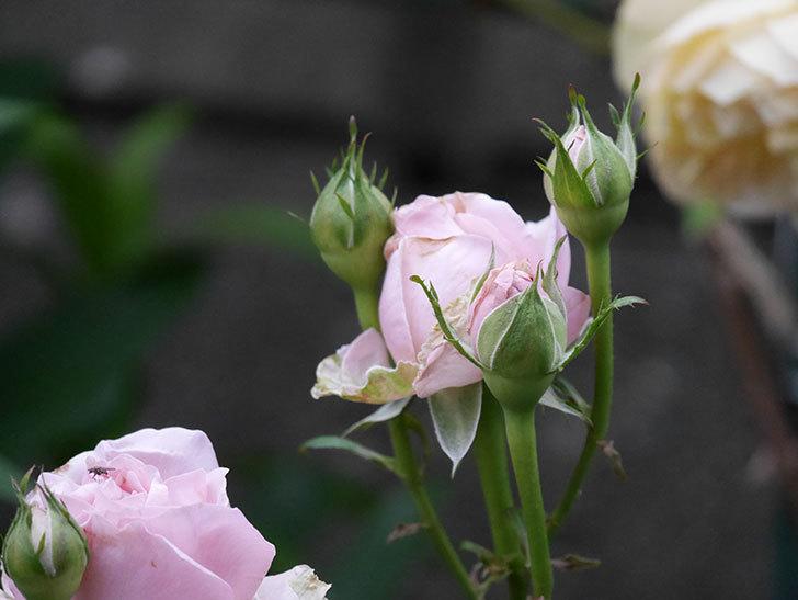 プリンセス オブ インフィニティ(ミニバラ)の花が咲いた。2020年-021.jpg
