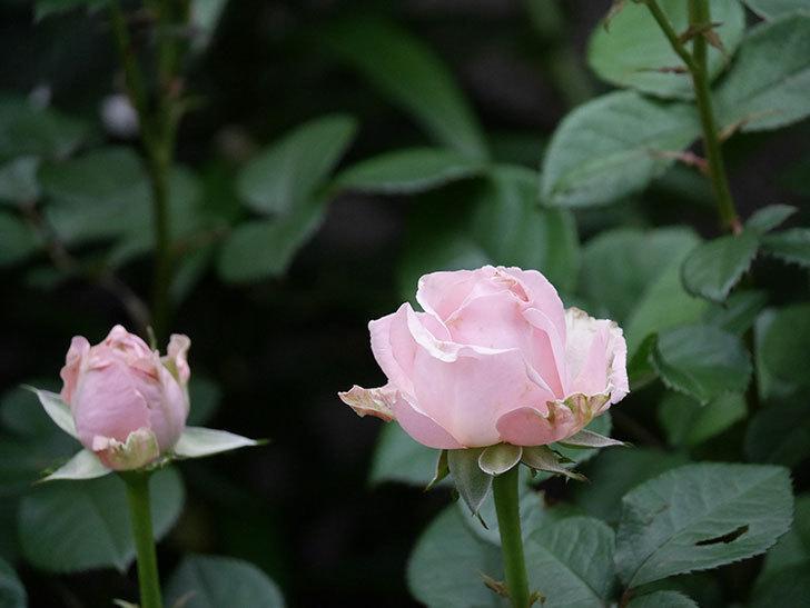 プリンセス オブ インフィニティ(ミニバラ)の花が咲いた。2020年-022.jpg