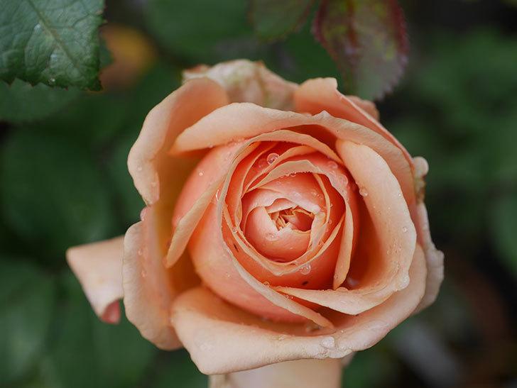 プリンセス オブ インフィニティ(Princess of infinity)にオレンジの秋花が咲いた。ミニバラ。2020年-001.jpg