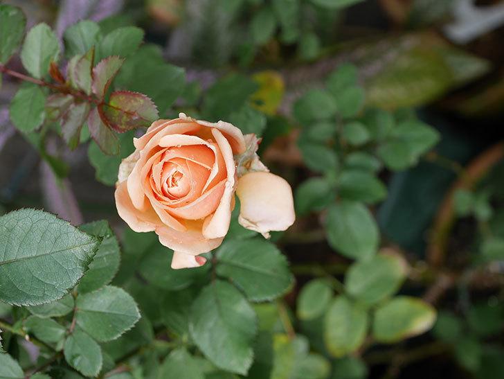 プリンセス オブ インフィニティ(Princess of infinity)にオレンジの秋花が咲いた。ミニバラ。2020年-002.jpg