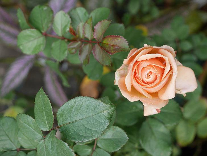 プリンセス オブ インフィニティ(Princess of infinity)にオレンジの秋花が咲いた。ミニバラ。2020年-003.jpg