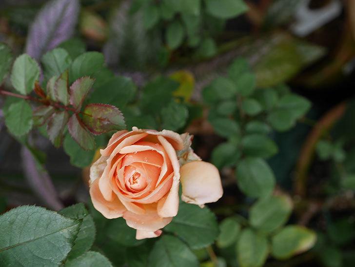 プリンセス オブ インフィニティ(Princess of infinity)にオレンジの秋花が咲いた。ミニバラ。2020年-004.jpg