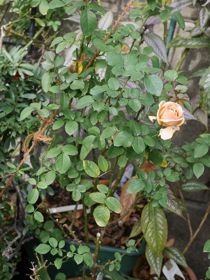 プリンセス オブ インフィニティ(Princess of infinity)にオレンジの秋花が咲いた。ミニバラ。2020年-005.jpg