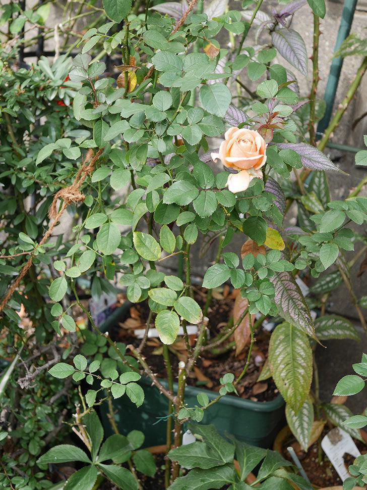 プリンセス オブ インフィニティ(Princess of infinity)にオレンジの秋花が咲いた。ミニバラ。2020年-007.jpg