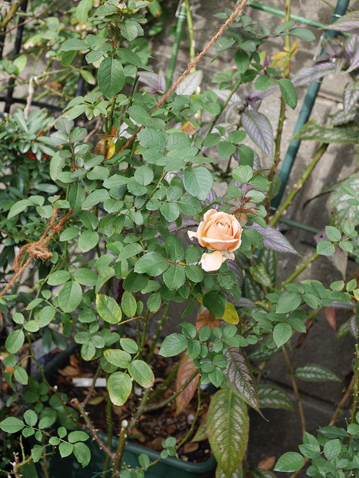 プリンセス オブ インフィニティ(Princess of infinity)にオレンジの秋花が咲いた。ミニバラ。2020年-009.jpg
