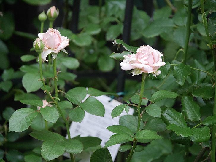 プリンセス オブ インフィニティ(Princess of infinity)の2番花が咲いた。ミニバラ。2020年-001.jpg