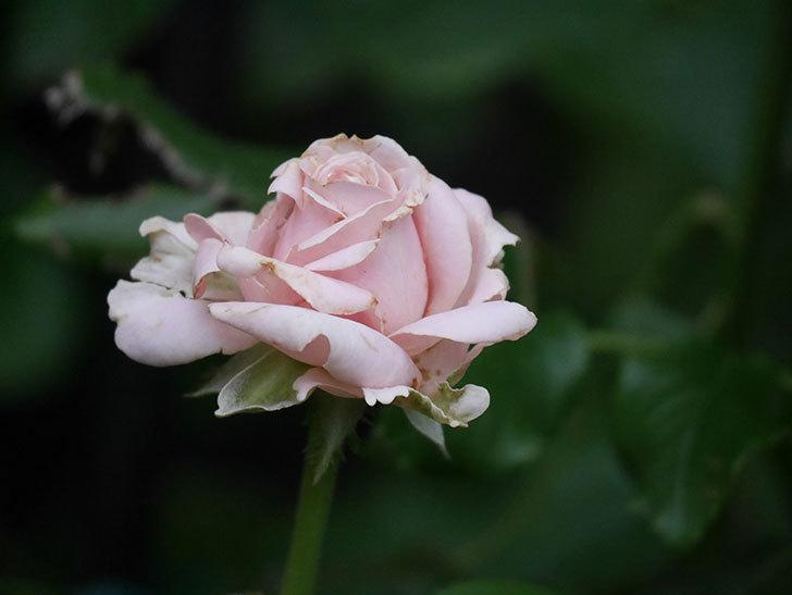 プリンセス オブ インフィニティ(Princess of infinity)の2番花が咲いた。ミニバラ。2020年-002.jpg