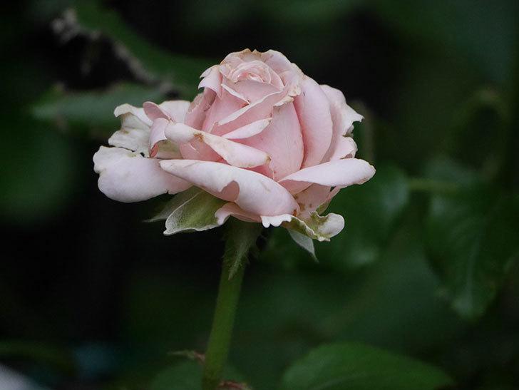 プリンセス オブ インフィニティ(Princess of infinity)の2番花が咲いた。ミニバラ。2020年-003.jpg