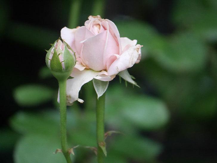プリンセス オブ インフィニティ(Princess of infinity)の2番花が咲いた。ミニバラ。2020年-004.jpg