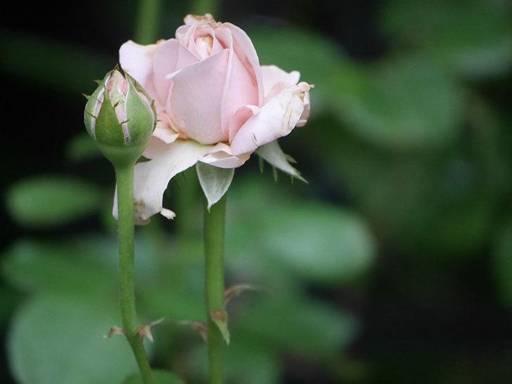 プリンセス オブ インフィニティ(Princess of infinity)の2番花が咲いた。ミニバラ。2020年-005.jpg