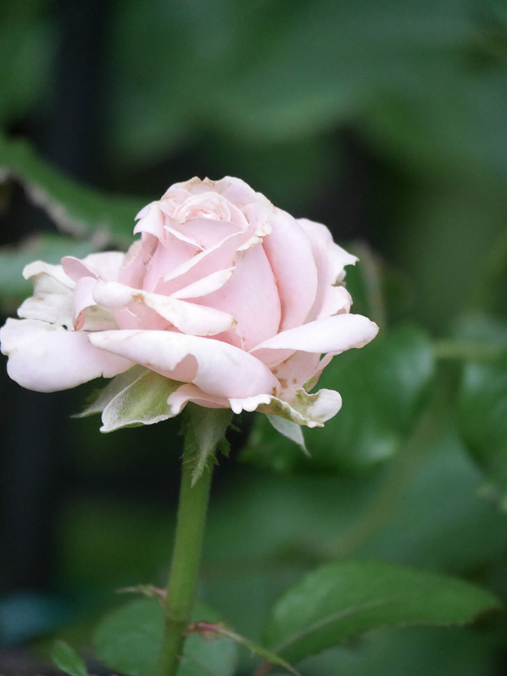 プリンセス オブ インフィニティ(Princess of infinity)の2番花が咲いた。ミニバラ。2020年-006.jpg