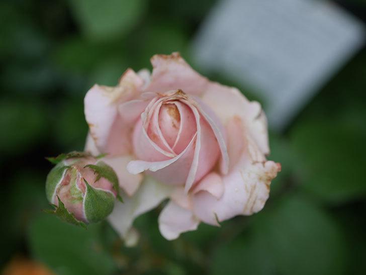プリンセス オブ インフィニティ(Princess of infinity)の2番花が咲いた。ミニバラ。2020年-008.jpg