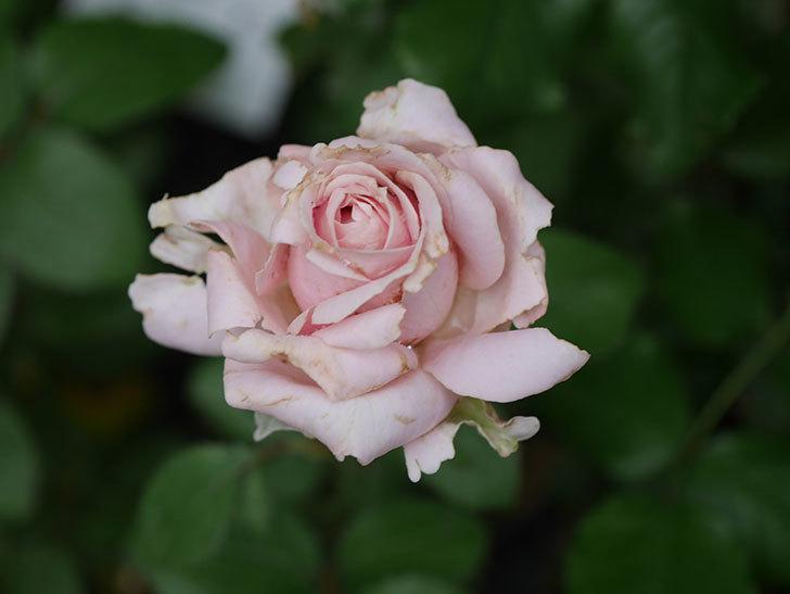 プリンセス オブ インフィニティ(Princess of infinity)の2番花が咲いた。ミニバラ。2020年-009.jpg