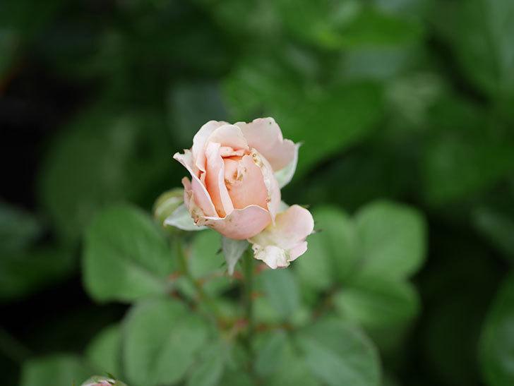 プリンセス オブ インフィニティ(Princess of infinity)の2番花が咲いた。ミニバラ。2020年-011.jpg