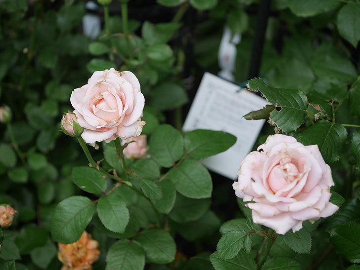 プリンセス オブ インフィニティ(Princess of infinity)の2番花が咲いた。ミニバラ。2020年-012.jpg