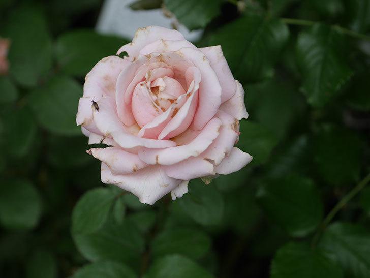 プリンセス オブ インフィニティ(Princess of infinity)の2番花が咲いた。ミニバラ。2020年-013.jpg