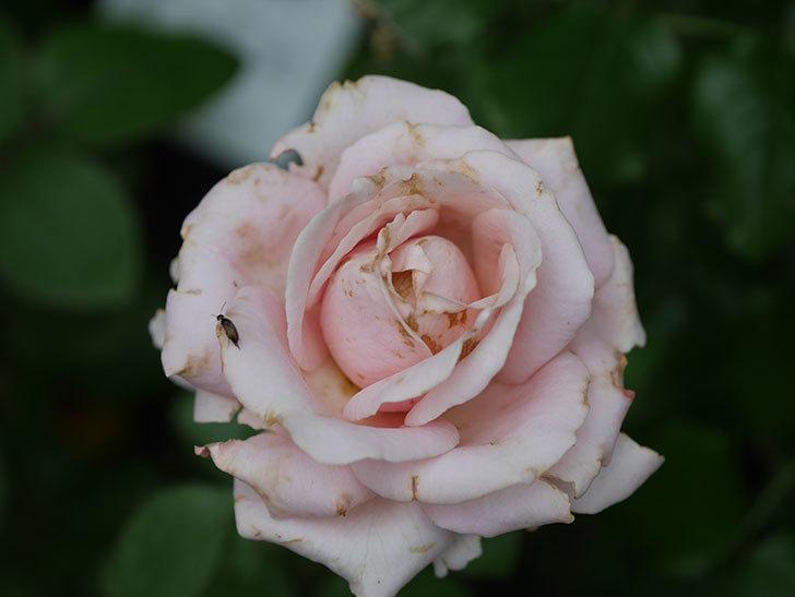 プリンセス オブ インフィニティ(Princess of infinity)の2番花が咲いた。ミニバラ。2020年-014.jpg