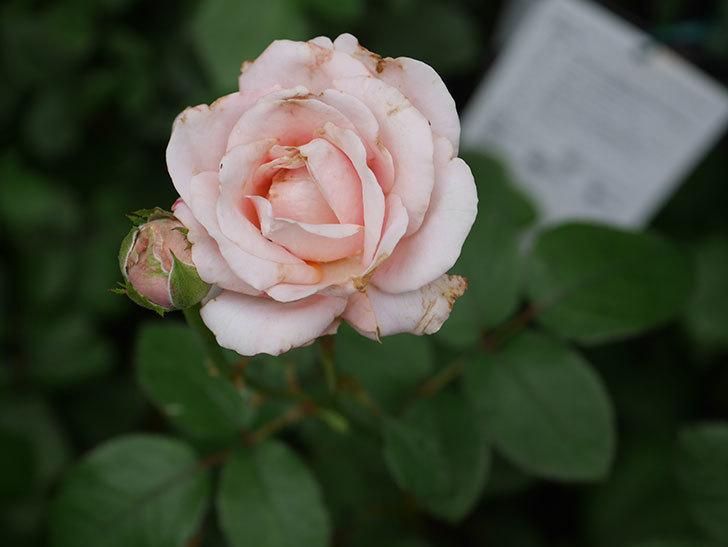 プリンセス オブ インフィニティ(Princess of infinity)の2番花が咲いた。ミニバラ。2020年-015.jpg