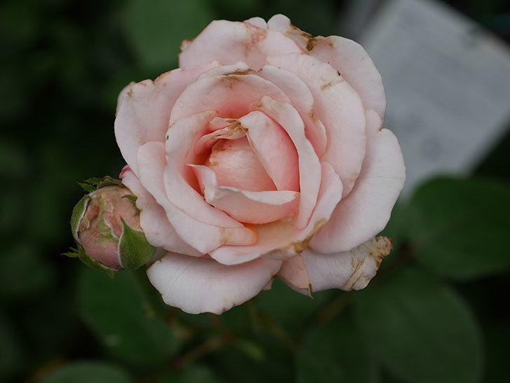 プリンセス オブ インフィニティ(Princess of infinity)の2番花が咲いた。ミニバラ。2020年-016.jpg