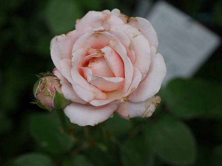 プリンセス オブ インフィニティ(Princess of infinity)の2番花が咲いた。ミニバラ。2020年-017.jpg