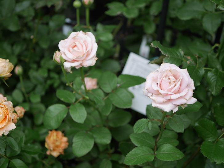 プリンセス オブ インフィニティ(Princess of infinity)の2番花が咲いた。ミニバラ。2020年-018.jpg