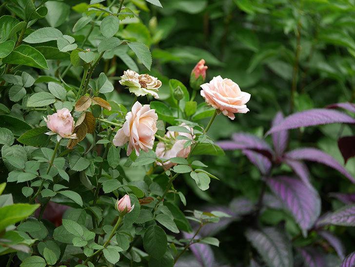 プリンセス オブ インフィニティ(Princess of infinity)の秋花が咲いた。ミニバラ。2020年-001.jpg