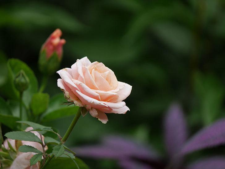 プリンセス オブ インフィニティ(Princess of infinity)の秋花が咲いた。ミニバラ。2020年-002.jpg