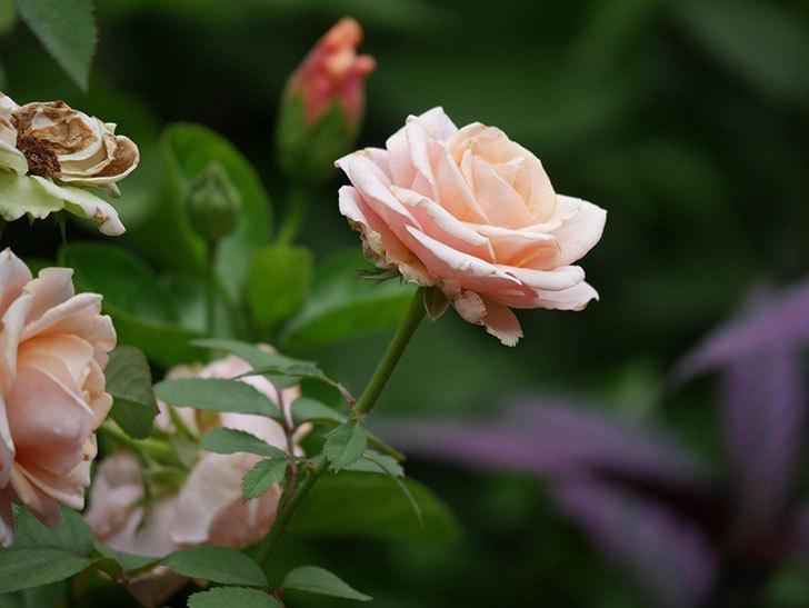 プリンセス オブ インフィニティ(Princess of infinity)の秋花が咲いた。ミニバラ。2020年-003.jpg