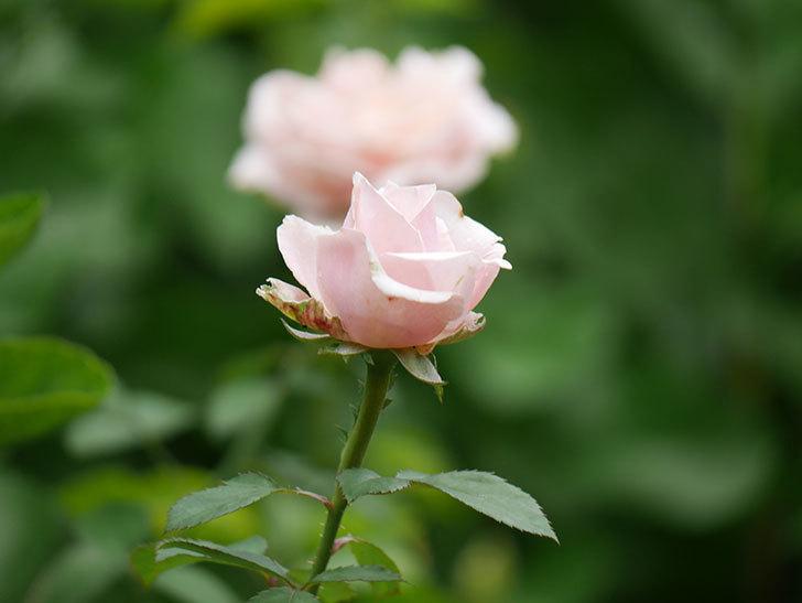 プリンセス オブ インフィニティ(Princess of infinity)の秋花が咲いた。ミニバラ。2020年-004.jpg