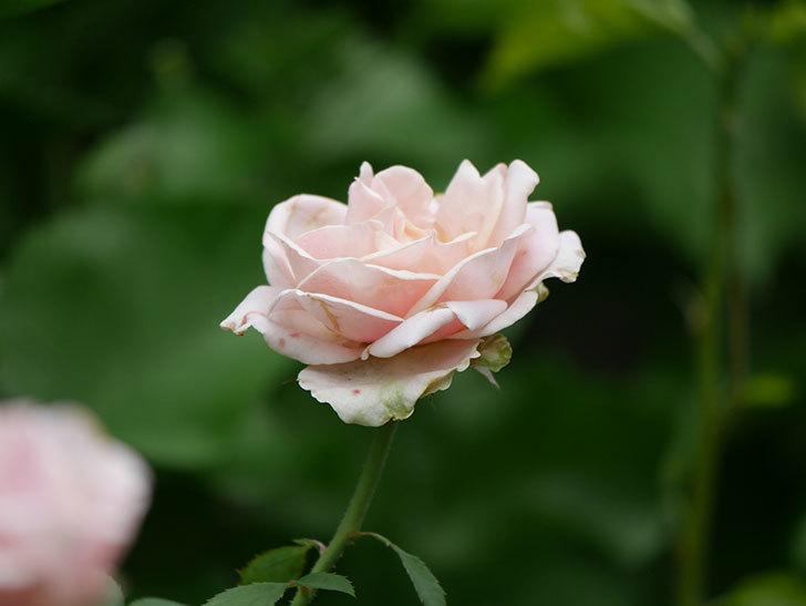 プリンセス オブ インフィニティ(Princess of infinity)の秋花が咲いた。ミニバラ。2020年-005.jpg
