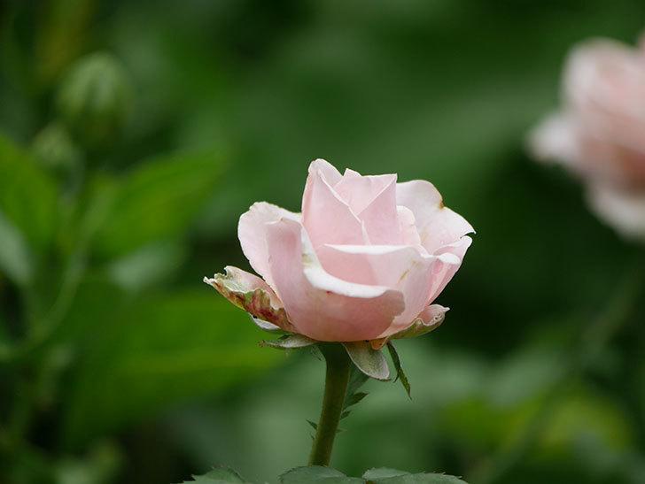 プリンセス オブ インフィニティ(Princess of infinity)の秋花が咲いた。ミニバラ。2020年-006.jpg