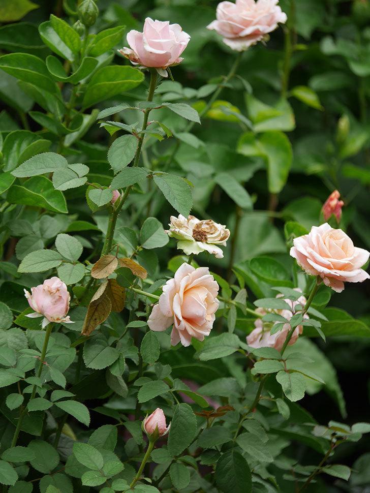 プリンセス オブ インフィニティ(Princess of infinity)の秋花が咲いた。ミニバラ。2020年-007.jpg