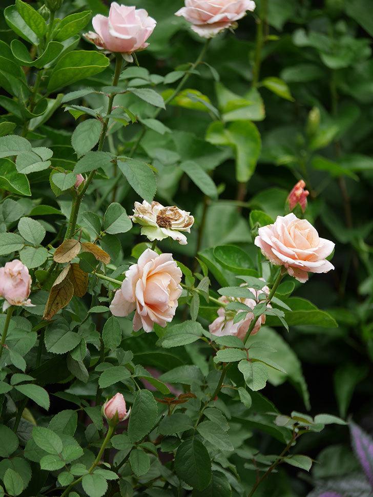 プリンセス オブ インフィニティ(Princess of infinity)の秋花が咲いた。ミニバラ。2020年-009.jpg