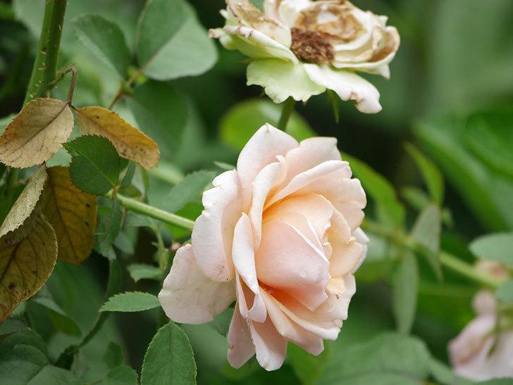 プリンセス オブ インフィニティ(Princess of infinity)の秋花が咲いた。ミニバラ。2020年-010.jpg