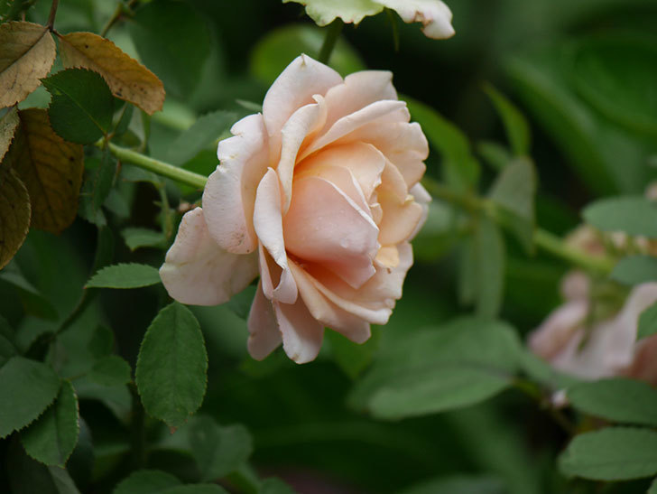 プリンセス オブ インフィニティ(Princess of infinity)の秋花が咲いた。ミニバラ。2020年-011.jpg
